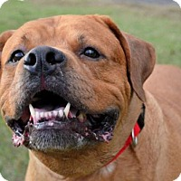 Adopt A Pet :: Rambo D-66953 *In Foster* - Westampton, NJ