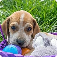 Adopt A Pet :: Grumpy $250 - Seneca, SC