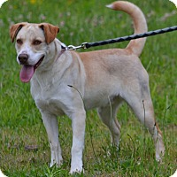 Adopt A Pet :: Ross - Lebanon, MO