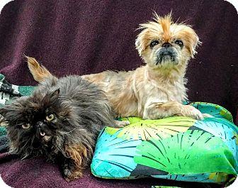 Pekingese Mix Dog for adoption in Pataskala, Ohio - Augie