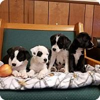 Adopt A Pet :: WIDGET - Gustine, CA