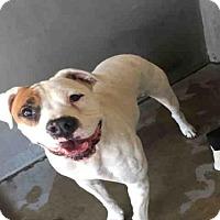Adopt A Pet :: A496733 - San Bernardino, CA