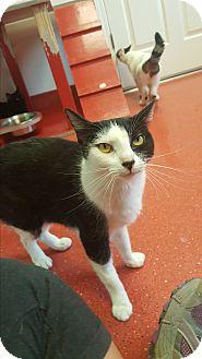 Domestic Shorthair Cat for adoption in yuba city, California - Daisy