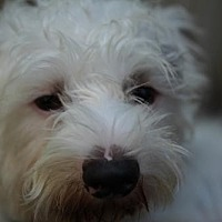 Terrier (Unknown Type, Medium)/Maltese Mix Dog for adoption in Beverly Hills, California - PANCAKE