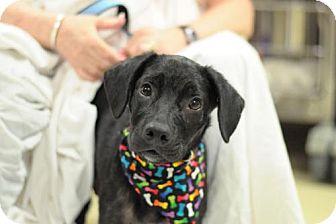 Labrador Retriever Mix Puppy for adoption in Willingboro, New Jersey - Clipper