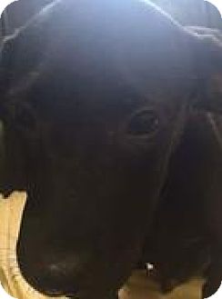 Labrador Retriever Mix Puppy for adoption in Patterson, New York - Harley