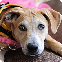 Adopt A Pet :: Noel - Cary, NC