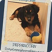 Adopt A Pet :: PEPPERCORN - Lincoln, NE