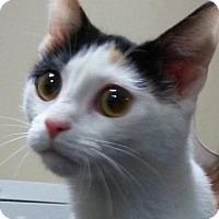 Adopt A Pet :: Callie 1 - Morganton, NC