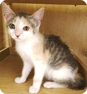 Domestic Shorthair Kitten for adoption in York, Pennsylvania - Natalie