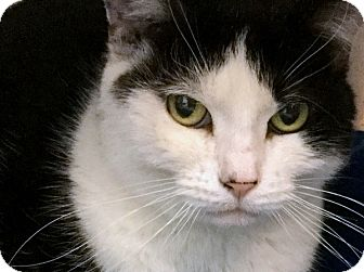 Domestic Shorthair Cat for adoption in Philadelphia, Pennsylvania - Anne