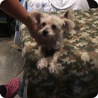 Yorkie, Yorkshire Terrier/Australian Terrier Mix Dog for adoption in Middleburg, Florida - Buddy