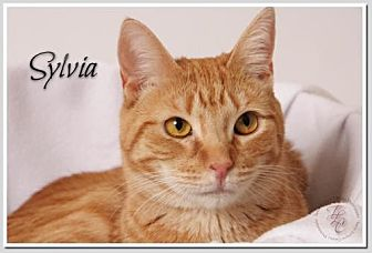 Domestic Mediumhair Cat for adoption in Atlanta, Georgia - Sylvia