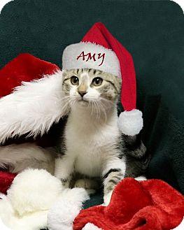 Domestic Shorthair Kitten for adoption in Rochester, New York - Amy