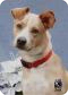 Australian Shepherd Mix Dog for adoption in Tomball, Texas - TODD