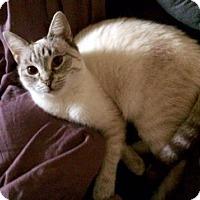Siamese Cat for adoption in Alpharetta, Georgia - Koji