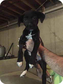 Labrador Retriever Mix Puppy for adoption in Gilbertsville, Pennsylvania - Abbott