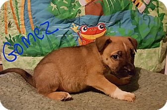Boxer/German Shepherd Dog Mix Puppy for adoption in Niagra Falls, New York - Gomez