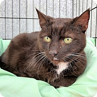Domestic Shorthair Cat for adoption in Athens, Georgia - Grizzly