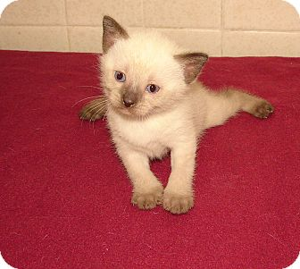 Siamese Kitten for adoption in Florence, Kentucky - Dallas
