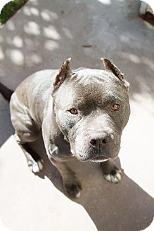 American Pit Bull Terrier Dog for adoption in San Diego, California - Smokie