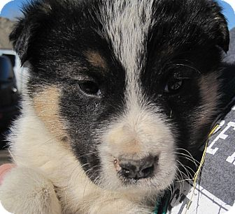 Tatiana | Adopted Puppy | Trinidad, CO | Great Pyrenees ...