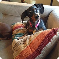 Adopt A Pet :: Bella Girl - Decatur, GA