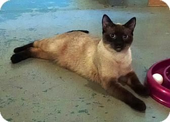 Siamese Cat Rescue Illinois