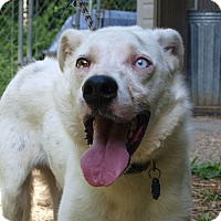 Adopt A Pet :: Ringo - Jackson, MO