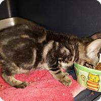 Domestic Shorthair Kitten for adoption in Chino, California - Nina