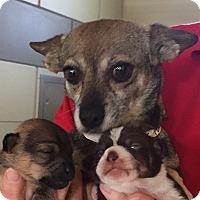 Adopt A Pet :: Macy Gray - San Marcos, CA
