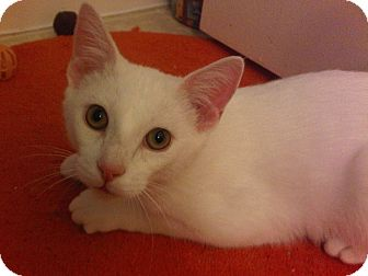 Domestic Shorthair Cat for adoption in Alhambra, California - Justin Timberlake