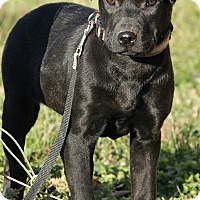 Adopt A Pet :: Amelia - Harrisonburg, VA