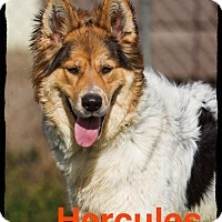 Adopt A Pet :: Hercules - Old Saybrook, CT
