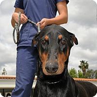 Adopt A Pet :: Priscilla - Agoura Hills, CA