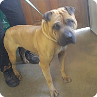 Shar Pei Mix Dog for adoption in Mira Loma, California - Travis