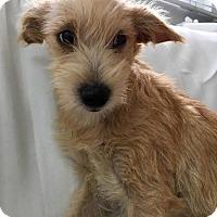 Adopt A Pet :: Westley - Los Angeles, CA