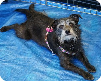 Terrier (Unknown Type, Small) Mix Dog for adoption in Los Alamitos, California - Ramada AKA Missy