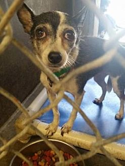 Chihuahua Mix Dog for adoption in Scottsdale, Arizona - Shirlee