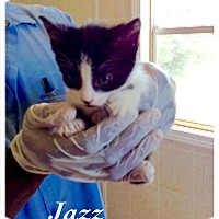 Domestic Shorthair Kitten for adoption in Dillon, South Carolina - Jazz