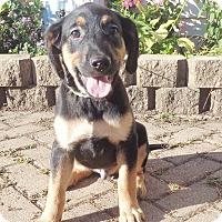 Adopt A Pet :: Rock - West Chicago, IL