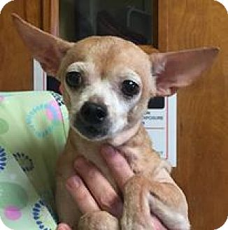 Chihuahua Dog for adoption in Orlando, Florida - Hazel (Prancer)