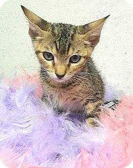 American Shorthair Cat for adoption in Hallandale, Florida - Athena
