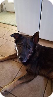 German Shepherd Dog/Husky Mix Dog for adoption in Portland, Maine - Hans (Cat Friendly)