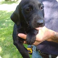 Adopt A Pet :: Ash - Kendall, NY