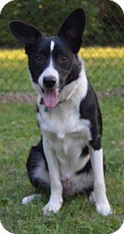 Border Collie Dog for adoption in Highland, Illinois - Emmitt