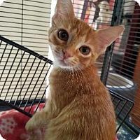 Adopt A Pet :: Copeland Orange Kit 6 - Spring, TX