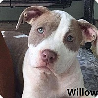 Adopt A Pet :: Willow - Lake Forest, CA