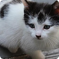 Domestic Shorthair Cat for adoption in Los Angeles, California - Domino