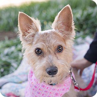 Silky Terrier Mix Dog for adoption in Oakley, California - Mercury